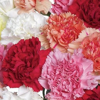Multicolored carnations. Select number of flowers!