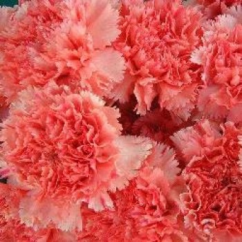 Pink carnations. Select number of flowers!